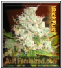 Black Kush Just Feminized Mix & Match Seeds